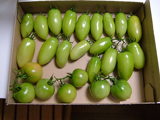 トマト02517.JPG